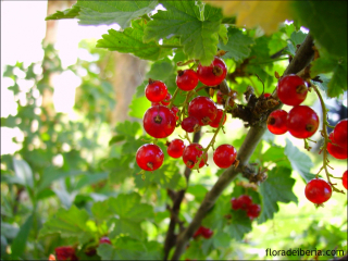 Ribes rubrum1