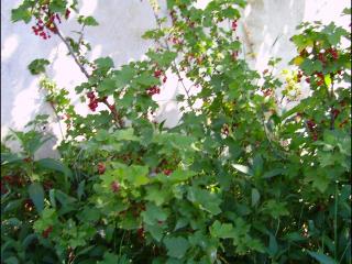 Ribes rubrum4