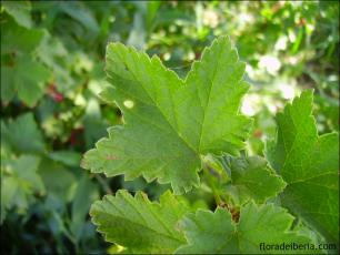 Ribes rubrum2