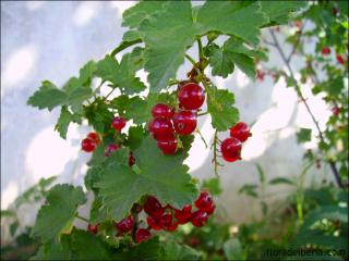 Ribes rubrum3