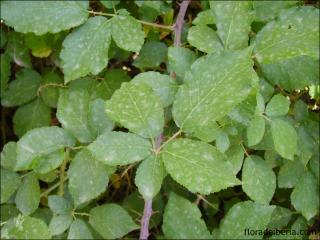 Rubus ulmifolius1