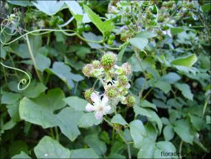 Rubus ulmifolius5