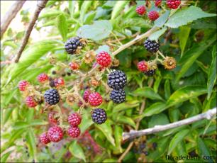 Rubus ulmifolius8