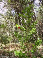 Ruscus aculeatus10