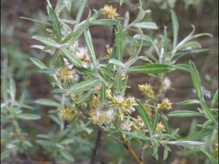 Salix eleagnos3