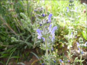 Salvia verbenaca1