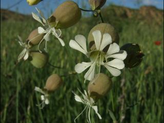 Silene vulgaris1