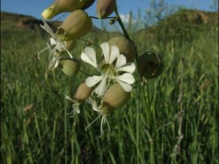 Silene vulgaris4