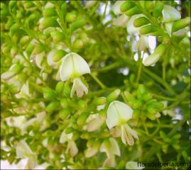 Styphnolobium japonicum4