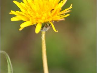Taraxacum officinale1