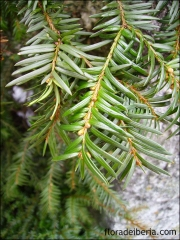 Taxus baccata2
