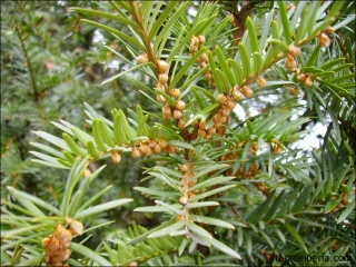 Taxus baccata4