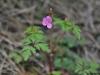 Geranium_robertianum_(1)
