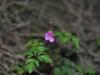 Geranium_robertianum_(6)