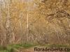 Populus alba8