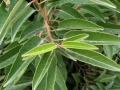 Prunus_lusitanica2