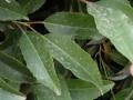 Prunus_lusitanica3
