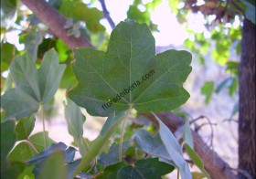«Acer campestre» (Arce menor)
