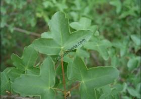 «Acer monspessulanum» (Arce de Montpellier)