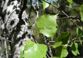 «Betula alba» (Abedul)