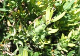 «Cneorum tricoccon» (Olivilla)