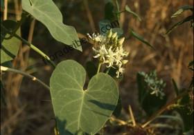 «Cynanchum acutum» (Matacán, Correhuela lechosa)