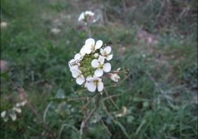 """""""Diplotaxis erucoides"""" (Rabaniza blanca, oruga silvestre)"""