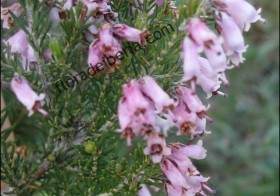 «Erica australis» (Brezo rubio)