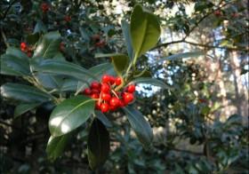 «Ilex aquifolium» (Acebo)