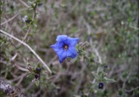 «Lithodora fruticosa» (Hierba de las siete sangrías)