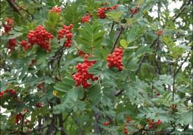 «Sorbus aucuparia» (Serbal de cazadores, serbal silvestre)