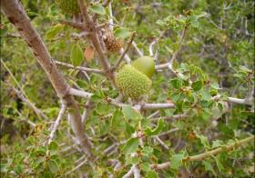«Quercus coccifera» (Coscoja, carrasca, maraña)
