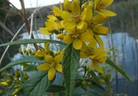 """Lysimachia vulgaris"" (Lisimaquia)"