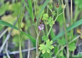 «Geranium molle» (Geranio muelle)