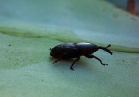 El picudo negro y efectos sobre el Aloe vera