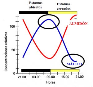 Variación en los niveles de ácido málico y almidón a lo largo del día en una planta CAM. Foto: Bolétín Drosophila