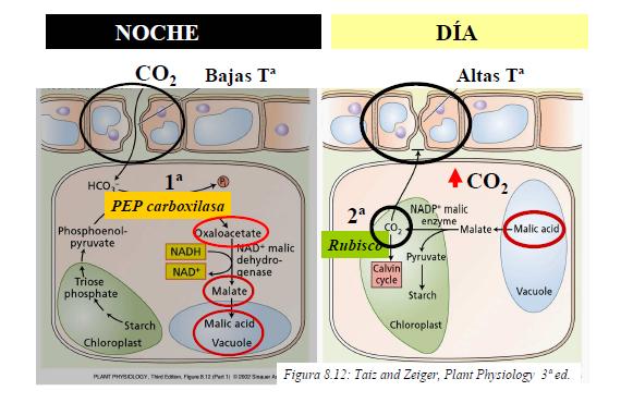Esquema de las reacciones del metabolismo CAM que ocurren en el aloe.