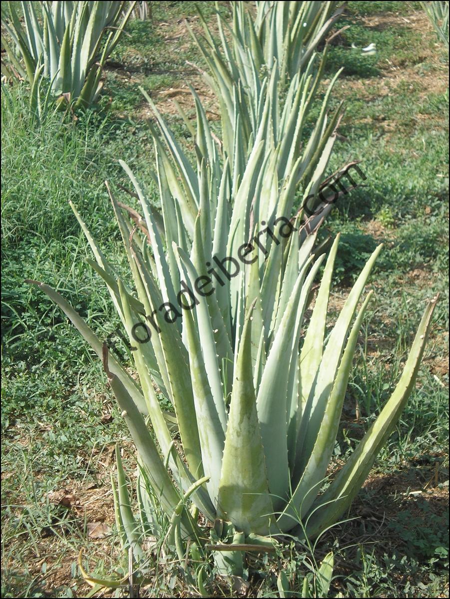 Aloe vera (Aloe, sabila, savila, zabila, zabida)