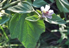 «Althaea officinalis» Malvavisco, Altea