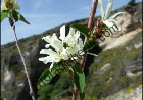 «Amelanchier ovalis» (Guillomo)