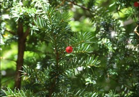 «Taxus baccata» (Tejo, tejón)