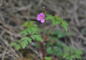 """""""Geranium robertianum"""" (Hierba de San Roberto)"""