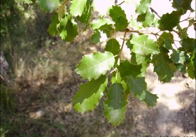 «Quercus faginea» (Quejigo, roble)